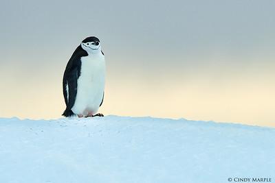 Chinstrap Penguin on Iceberg