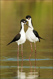 Black-necked Stilt couple
