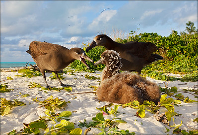 Black-footed Albatross and chick