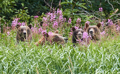 Grizzly Bear and triplet cubs
