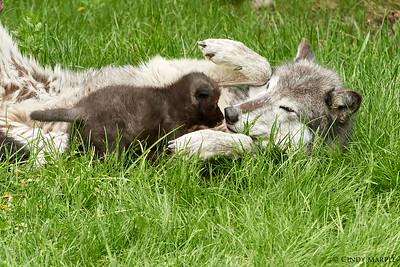 Wolf Pup with Auntie