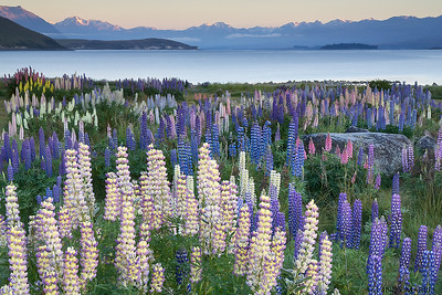 Lupine at Lake Tekapo