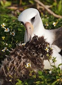 Laysan Albatross and chick