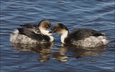 Silvery Grebe couple and chick