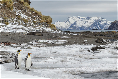 King Penguins, Elephant Seals