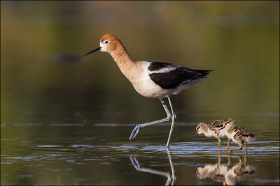 American Avocet female and chicks