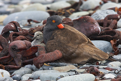Blackish Oystercatcher and chick