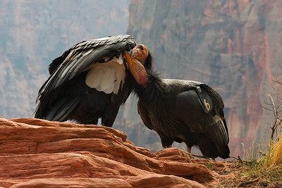 California Condors in Zion Canyon