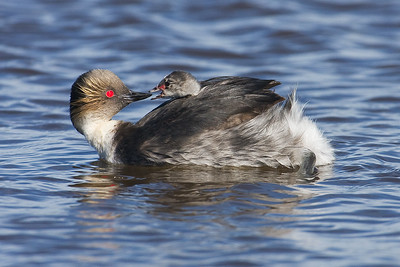 Silvery Grebe and chick