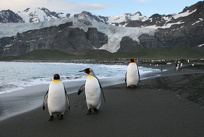 King Penguins, Gold Harbor