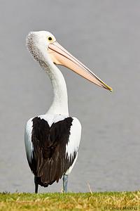 Australaian Pelican