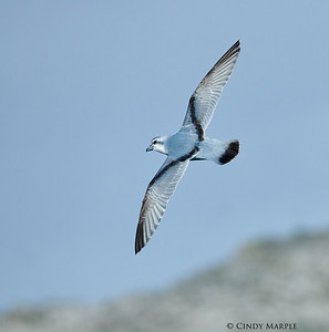 Fulmar Prion