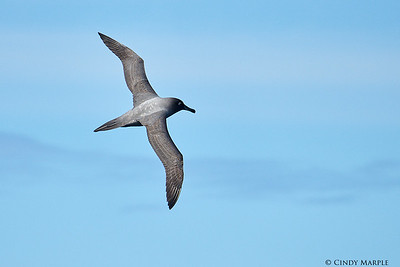 Light-mantled Albatross
