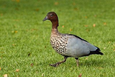 Maned Duck (Australian Wood Duck)