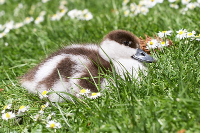 Paradise Shelduck duckling
