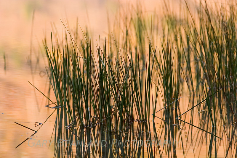 Grasses in the river