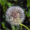 Dandelion puffball...