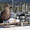 Gull, Santa Barbara, CA