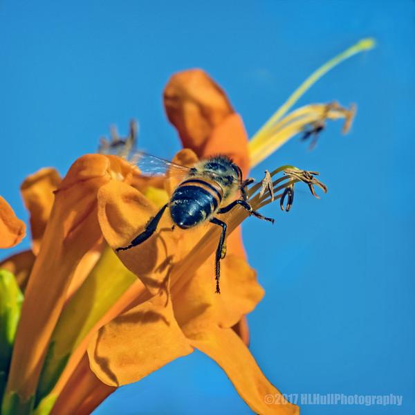 Bee on a Honeysuckle Blossom...