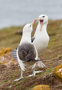 Black-browed Albatross pair bonding