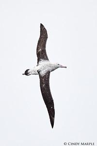 Gibson's Albatross, immature