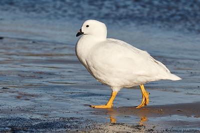 Kelp Goose male