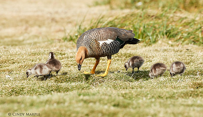 Upland Goose female and goslings