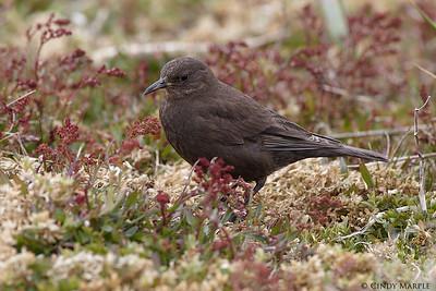 Blackish Cinclodes (Tussockbird)