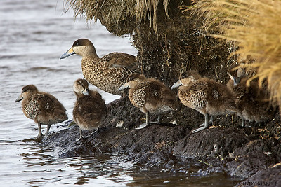 Silver Teal with ducklings