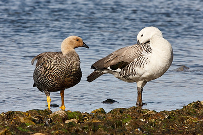 Upland Goose couple