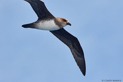 Atlantic Petrel