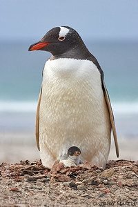 Gentoo Penguin with young chick and egg