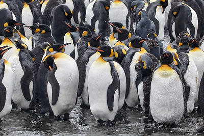 King Penguins molting