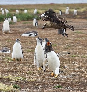 Gentoo Penguins chasing off a Brown Skua
