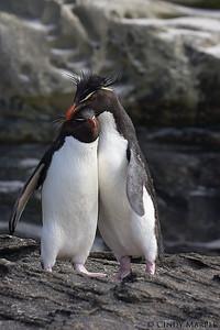 Rockhopper Penguin couple