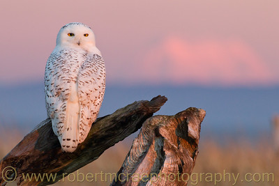 """""""Snowy Sunset"""" - Award Winner.  This cooperative Owl was photographed at sunset with Mt Rainier in the background."""
