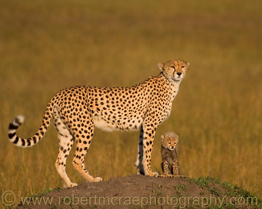 """""""Mamma's Little Helper' -  Multiple Award Winner  This is Toto and Honey from BBC's """"Big Cat Diary"""""""