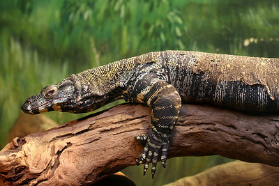 Monitor Lizard at the Bronx Zoo