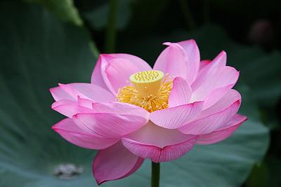 Lotus blossom on Shinobazu Pond in Ueno Park, Tokyo