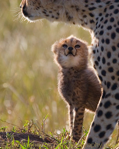 """""""C is for Cheetah"""" - Multiple Award Winner  This is Toto from BBC's """"Big Cat Diary"""""""