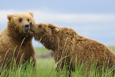 """I Love You, You Big Boar"" - Award Winner"