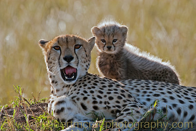 """Honey and Toto at Masai Mara"" - Award Winner.  This is a photograph I took of ""Honey"" and her cub, ""Toto,"" as named by the BBC's series ""Big Cat Diary.""  I discovered the previously unprocessed RAW image in 2011 and processed it."