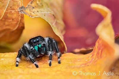 Bold jumping spider (Phidippus audax), California (6-image handheld photo stack)