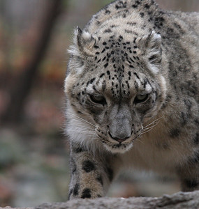 Snow Leopard at the Bronx Zoo
