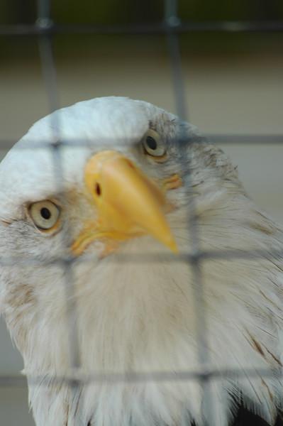 Eagle - Alaska