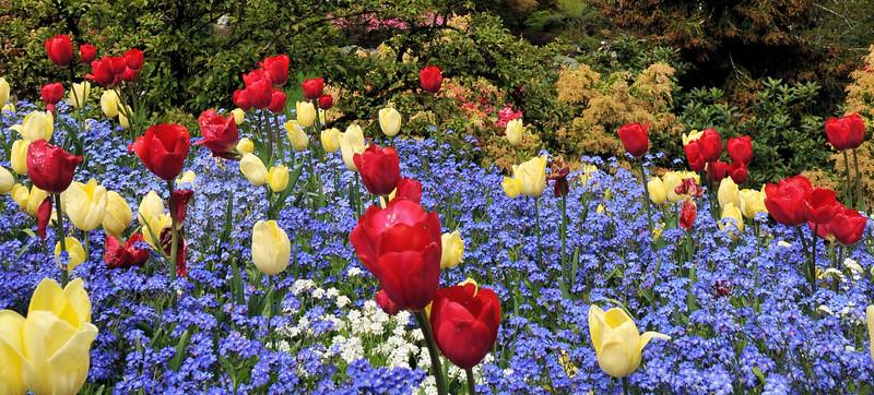Tulips in Butchart Gardens 2