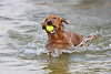 This is why I'm called a Retriever.<br /> <br /> Zeus, our golden retriever, loves to play fetch in the shallow shore line of Lake Weir.  He will continue to fetch and retrieve for as many times as you are willing to throw it to him.