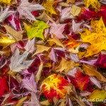 Autumn Leaves No.1