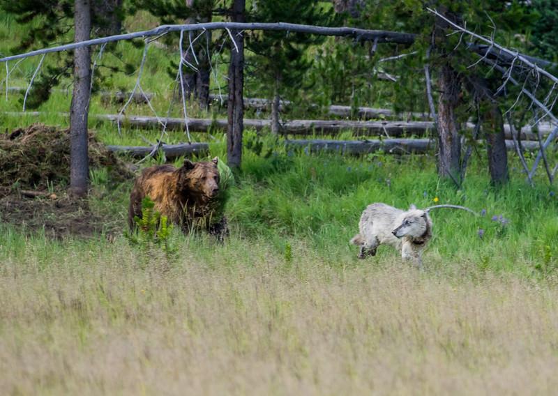 Bear vs. Sapling. (Bear wins)