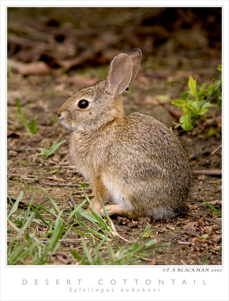 Cottontail TAB07N_06670_1